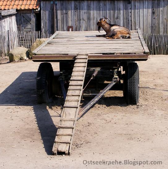 Sonnenbad (chaoskraehe) Tags: Goat Ziege Rostock Karls Rövershagen  Erdbeerhof