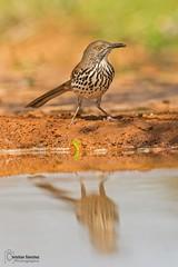 Long-billed Thrasher (Toxostoma longirostre) (Christian Sanchez Photography) Tags: birds aves texasbirds birdsfly pjaros