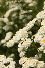 Römische Kamille (gripspix (OFF)) Tags: bachelorsbuttons tanacetumparthenium römischekamille englishcamomile 20140627