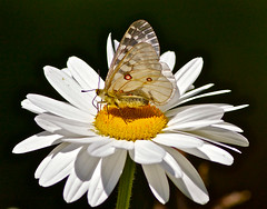 American Apollo On Shasta Daisy (jerrygabby1) Tags: