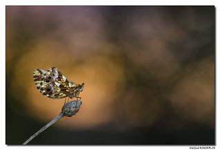 Petite Violette -  Clossiana dia #2