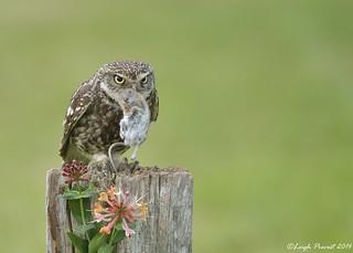 Little Owl, Athene noctua