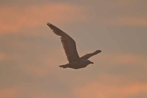 Kelp Gull sunset Buff_0954