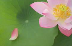 Lotus Petal (Bahman Farzad) Tags: lotus petal lotuspetal petallotus
