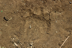LION PAW PRINT, NAROBI GAME PARK, KENYA 2014 (nordique72) Tags: animals landscape kenya nairobi lion zebra giraffe baboon wildebeast eland waterbuffalo warthog gamepark whiterhinoceros egyptiangoose osterich masaigiraffe ngonghills acaciatree thompsonsgazelle velvetmonkey crownbird animalsofkenya hardebeast maracoustork