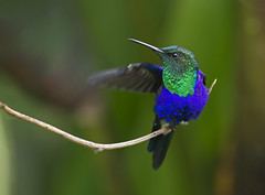 Thalurania colombica fannyi - Green-crowned Woodnymph - Zafiro Coroniverde - Ninfa Coroniverde 13 (jjarango) Tags: birding aves birdwatching avesdecolombia birdsofcolombia birdingcolombia