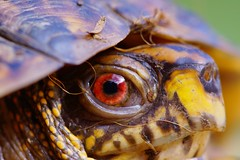 165/365: Close-up of Eastern box turtle (Terrapene carolina carolina) eye; resuming 365 Project after hiatus of 365 days [Explored] (Stephen Little) Tags: animalia terrapene reptilia emydidae chordata terrapenecarolinacarolina easternboxturtle vertebrata testudines tcarolina tccarolina minoltaaf100f28macro minolta100f28macro minolta100mmf28 dsc04113 minolta100mmf28macro minoltaaf100f28 minolta100f28 minoltaaf100mmf28 minoltaaf100mmf28macro sonya77 jstephenlittlejr slta77 sonyslta77 sonyslta77v sonyalphaslta77v minoltaaf100f28macro2581100 minoltaaf100mmf28macro2581100