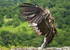 Donjon des Aigles Beaucens (SebastienToulouse) Tags: france milan montagne medieval seb condor chateau oiseau pyrenees perroquet chouette hibou aigle rapace buse midipyrnes vautour beaucens serpentaire