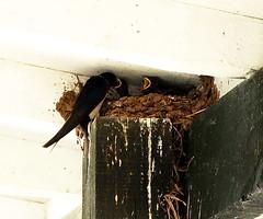 Feeding time (Traveller's soul) Tags: street birds shop babies nest feeding mum ©cln 522014 100x2014