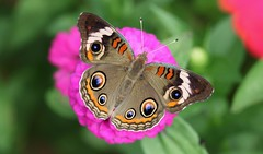 Common Buckeye (DrPhotoMoto) Tags: blue orange purple magenta northcarolina zinnia commonbuckeye richmondcounty junoniacoenia