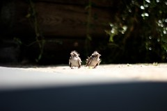 little dears (sonyacita) Tags: fledglings babybirds