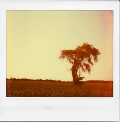 Sunset on L'Orme (Irrational Photography) Tags: polaroid impossible project retro vintage antique analogue analoghipster film onestep spectra se sx70 sx 70 600 680 jobpro montreal quebec canada orme tree red orange temperature high humidity dusk saintours saint ours stours st elm field fields corn vine vines rolling hills plains sunset yellow sepia heat hot picture pictures photo photos pic pics theimpossibleproject koala meatpie meat pie koalameatpie richelieu surrichelieu irrational photography