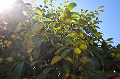 *** (Евгения Чапурина) Tags: trip light summer sun color tree apple nature temple cathedral russia holy yaroslavl rostov ravel