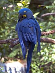 Nashville Zoo 09-01-2010 - Hyacinth Macaw 7 (David441491) Tags: zoo nashville macaw hyacinth