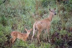 Staying Close to Mom 7-5-14 (Larry Smith2010) Tags: oklahoma deer fawn wichitamountains whitetaileddeer wichitamountainswildliferefuge doeandfawn larrysmith