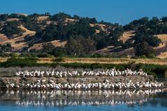 Squadron of Pelicans (MelRoseJ) Tags: california nature birds northerncalifornia unitedstates sony pelican bayarea sanrafael whitepelican lasgallinas sonyalpha sal70400g a77ii sonyilca77m2