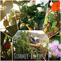 Summer-balcony.  #summer #sun #balcony #balkon #grün #green #fresh  #tomate #tomato #pepper #paprika #beansupport #firebean #feuerbohne #physalis #flower #enjoy #love #life #like #vegan #vegetarian #fruit #iggood #igfood #instafood