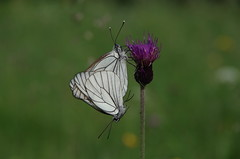 Baumweißling (Aah-Yeah) Tags: white black butterfly bayern schmetterling achental paarung veined chiemgau aporia crataegi tagfalter kopula baumweisling