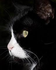 Portrait of a lady (Kitty Terwolbeck) Tags: portrait white black animal cat nose eyes kat ears whiskers stare ogen portret zwart wit dier poes oren neus catseyes staren snorharen katteogen kattenneus