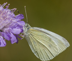 Large White Butterfly (Travels with a dog and a Camera :)) Tags: park uk england white southwest west flower macro art digital butterfly bristol pentax south large august tamron 56 ld lightroom 2014 piris f456 k30 af70300mm brassicae tamronaf70300mmf456ldmacro netham largewhitebutterfly justpentax pentaxart nethampark pentaxk30 lightroom56 pirisbrassicae