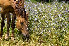 (Eckybay) Tags: ohio summer horse grass rural eating farm pasture wildflowers chicory grazing beckyswora