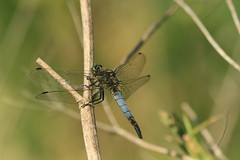 Black-tailed Skimmer (Orthetrum cancellatum), by Peter Alfrey