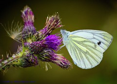 Green Veined White Butterfly (spw6156 - Over 5,216,500 Views) Tags: copyright butterfly steve  iso waterhouse 400cropped