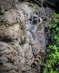 Raccoon on Wall