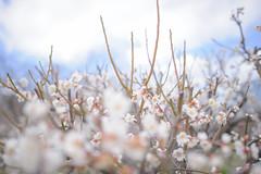 Umebokeh - Nikon D3s & Nikon AF-S Nikkor 24mm f/1.4G ED (TORO*) Tags: nikon d3s af afs nikkor 24 24mm f14g f14 14 ed osaka castle park plum ume japan bokeh blur tree plant blossom depth field pastel outdoor flower japanese apricot blue sky cloud white