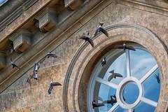 House Martins-1 (cj.holder) Tags: 2016 birds canon70d croomecourt housemartins nests sandstone worcestershire