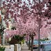 Cherry Blossoms On Harbord Street