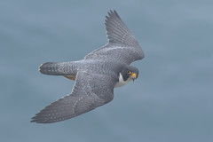 Cruising by! (bmse) Tags: fog peregrine falcin point fermin canon 7d2 400mm f56 l bmse salah baazizi wingsinmotion