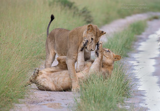 Lions - Male - Panthera Leo - Image 3 of 8