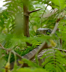 Boomslang (Dispholidus typus) female (berniedup) Tags: lowersabie kruger boomslang dispholidustypus snake taxonomy:binomial=dispholidustypus