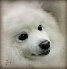 And this is my beloved ... (Jan 130) Tags: dog japanesespitz jp whitedog thickfur friendandcompanion love textured jan130 coth5 alittlebeauty