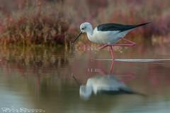 Knight @ trot (Jokermanssx) Tags: birds cavaliereditalia molentargius quartuse reflection riflesso sardegna stagno