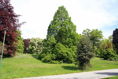 Metasequoia glyptostroboides-03 (The Tree Library (TreeLib.ca)) Tags: metasequoiaglyptosroboides dawnredwood metasequoiaglyptostroboides
