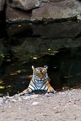 494 Day 3 Tigers (brads-photography) Tags: coolingdown coolingoff female headon india laiddown laying mala nationalpark noor pantheratigristigris rajasthan ranthambore resting royalbengaltiger sawaimadhopur t39 tiger tigerreserve water waterhole wildlife