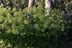 Smyrnium olusatrum (esta_ahi) Tags: olèrdola smyrnium olusatrum smyrniumolusatrum apiocaballar umbelliferae apiaceae flor flora flores silvestres plantas yellow penedès barcelona spain españa испания