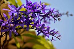 A BUNCH (shafiquemohammed37) Tags: sandpapervine petreavolubilis verbenaceae queenswreath bangladesh dhaka