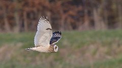 Short-eared Owl (image 2 of 4) (Full Moon Images) Tags: east anglia fens cambridgeshire flight flying bird prey birdofprey shorteared owl short eared seo
