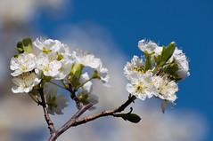 Day 59 ~ Plum Blossoms (champbass2) Tags: day59 day59365 3652017 2017 blossoms plumblossoms santarosaplum california usa fromthegarden whiteblossoms