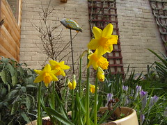Jonquils and crocus (bryanilona) Tags: jonquils crocus sage mosaicfish garden shed abigfave fantasticflowers