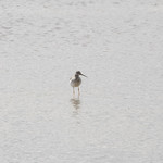 Greater Yellowlegs (2) thumbnail
