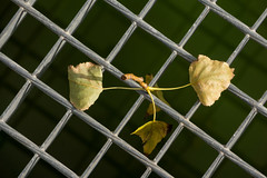 'Life's Grate' (Canadapt) Tags: grate leaves pattern diagonal diamond cross loures portugal canadapt