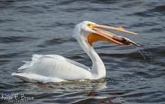 American White Pelican (BirdFancier01) Tags: nature river iowa leclaire waterbird pelican white