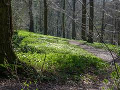 Magic sunlight in the slope forest (RIch-ART In PIXELS) Tags: savelsbos zuidlimburg thenetherlands leicadlux6 leica dlux6 landscape sunlight shadow light anemones forest grass slopeforest eijsdenmargraten