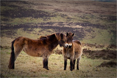 Love on Exmoor. (Petefromstaffs) Tags: exmoorponies pony horse exmoor somerset minehead canon 60d unusual interesting outdoors uk equine vignette elements