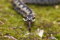 It is spring! (Jaedde & Sis) Tags: hugorm præstbjerg snake viperaberus europeanadder europeanviper tongue reptile challengefactorywinner unanimous thechallengefactory ground perpetualwinner storybookwinner bbq beanstalk