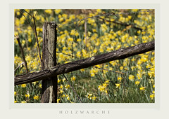 daffodils and fence (jangryffroy) Tags: daffodils barbed wire